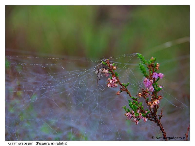 Kraamwebspin (Pisaura mirabilis)