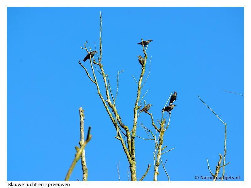 blauwe lucht en spreeuwen