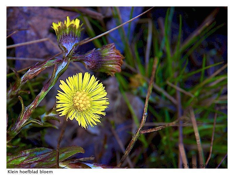 klein hoefblad bloem