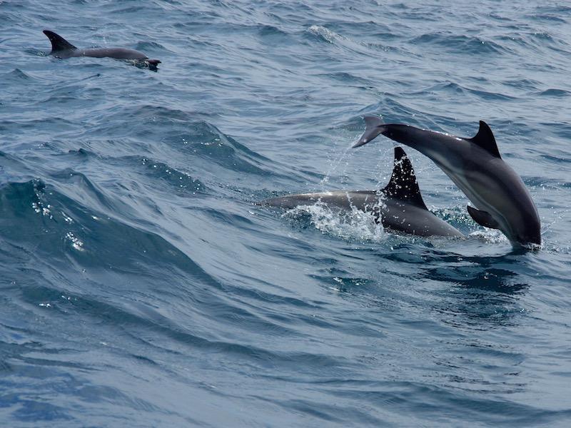 gewone dolfijn - Delphinus delphis