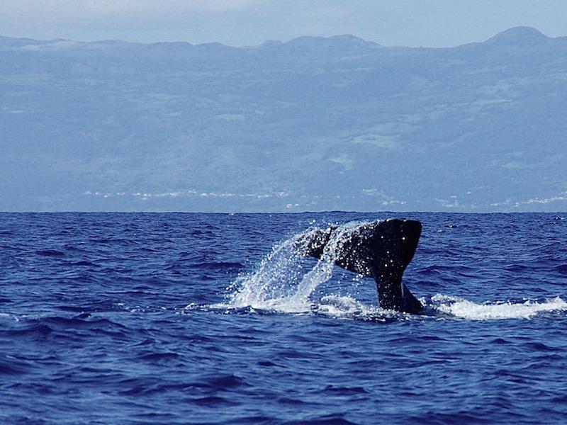 Walvissen kijken op de azoren