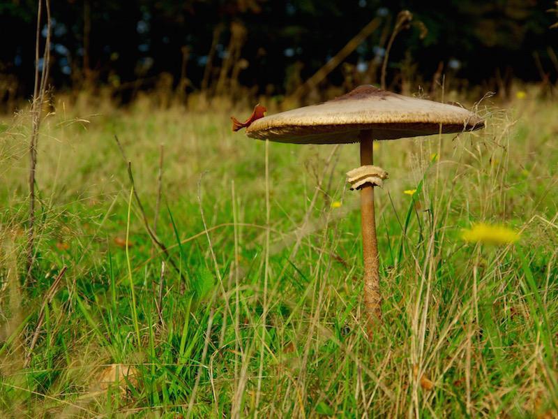 grote parasolzwam een van de goed eetbare paddenstoelen