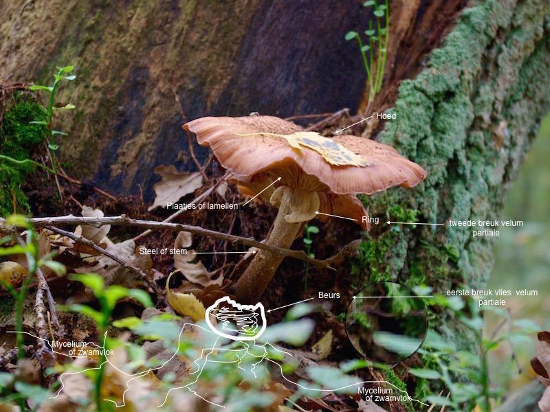 onderdelen van paddenstoelen