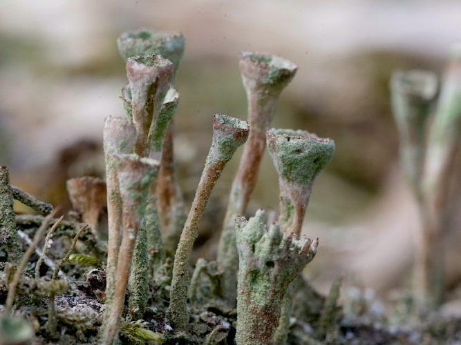 Groen bekermos (Cladonia fimbriata)
