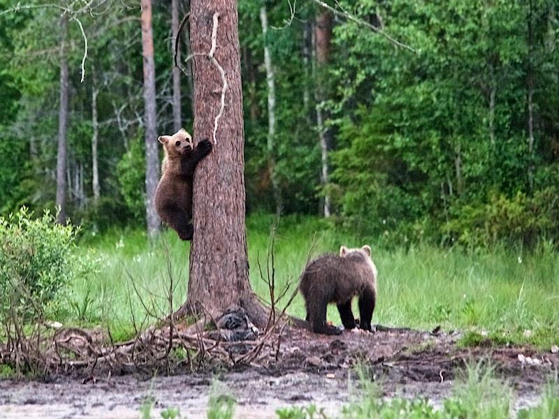 jonge beren in Finland