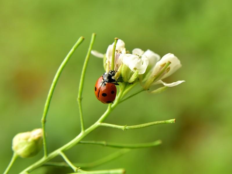 Biologische bestrijding - Lieveheersbeestje