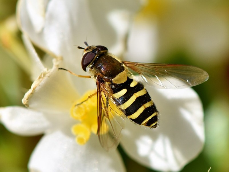 Biologische bestrijding van bladluis - zweefvlieg